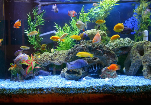 Saint Louis Aquarium Maintenance Cichlid Tank